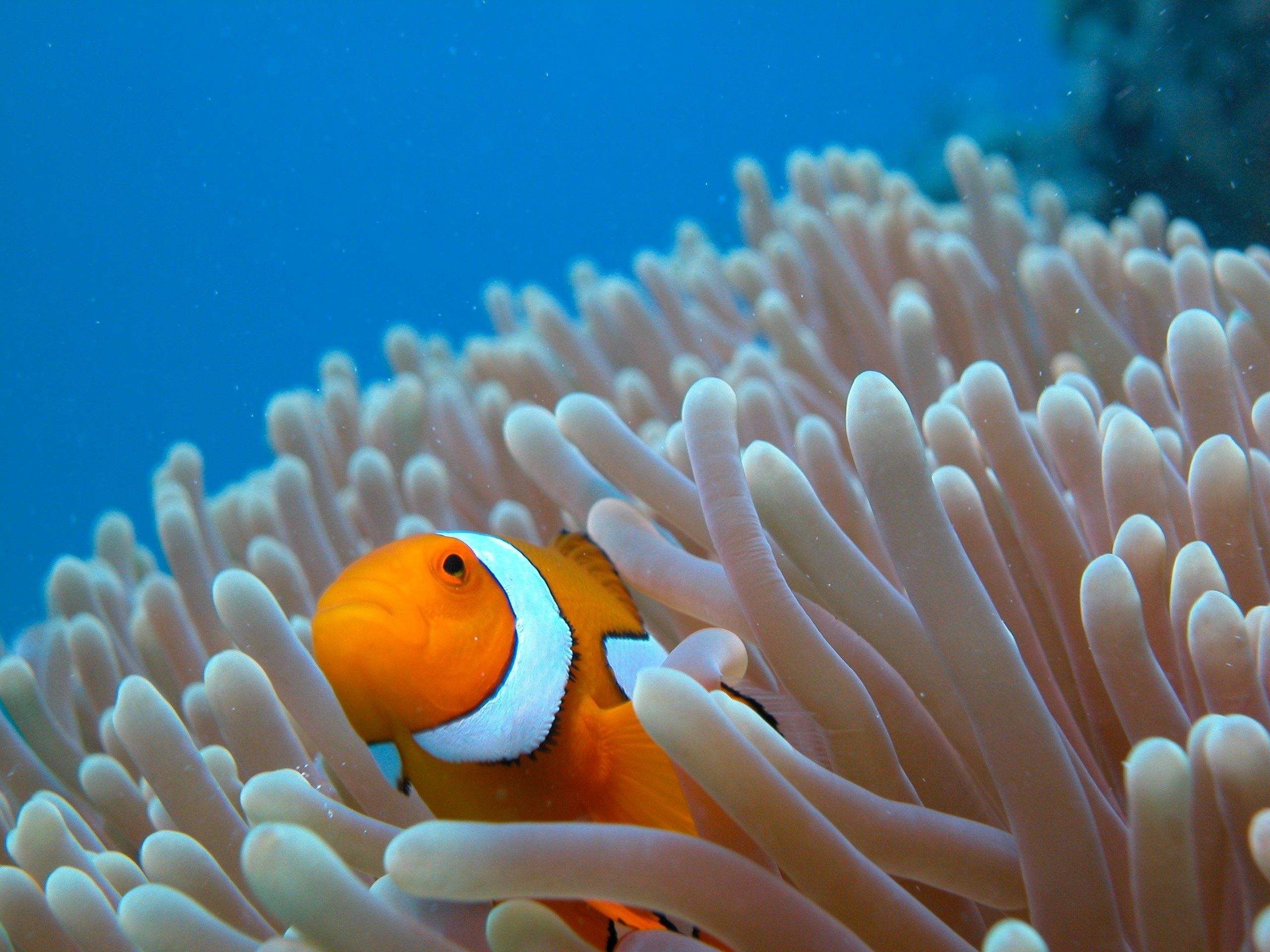 Commercial fishery harvesting 98 tonnes of coral a year for Clown fish habitat