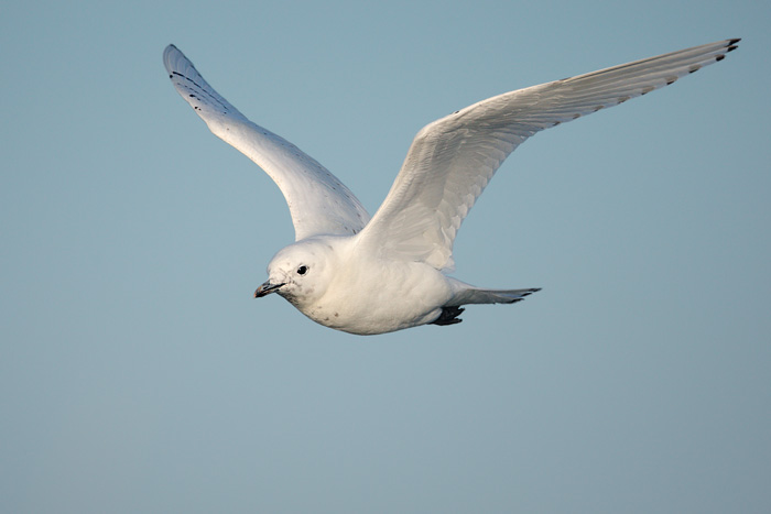 Ivory Gull Endangered The Ivory Gull Pagophila