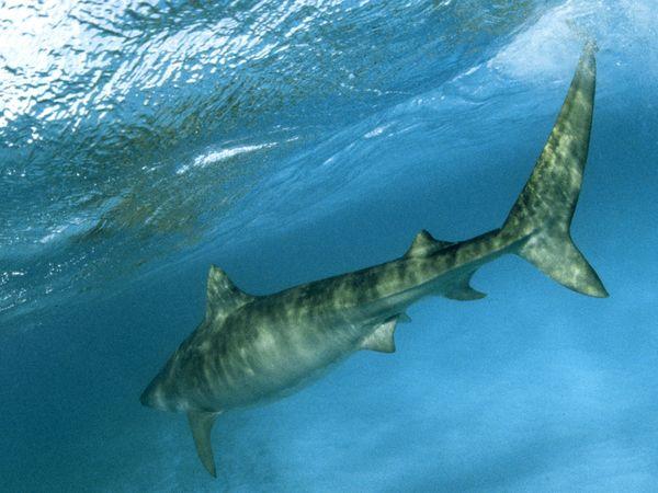 Tiger Sharks Pictures Tiger Shark