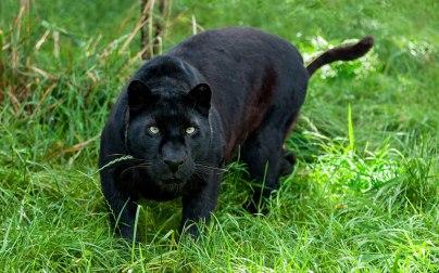 Malaysia leopard